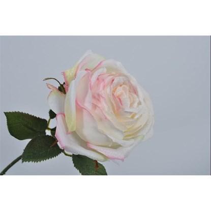 Růže bílá/růžová_0