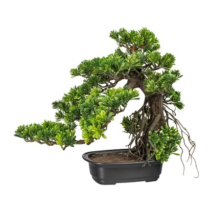 Bonsai Podocarpus cca 40x40cm_0
