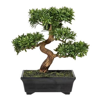 Bonsai Podocarpus 30 cm (vč.květináče)_0